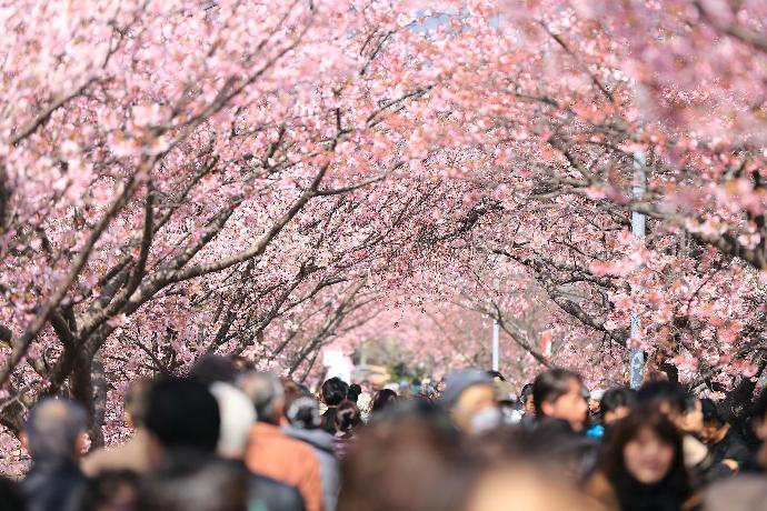 東京の花見情報2019年お花見デートに最適な日は?開花と満開予想